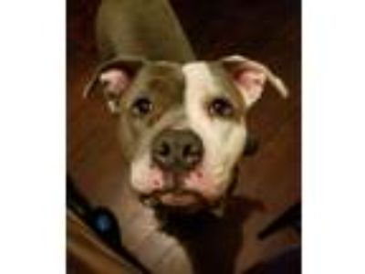 Adopt Cookie a Gray/Silver/Salt & Pepper - with White American Pit Bull Terrier