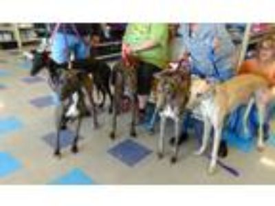Adopt More Hounds! a Greyhound