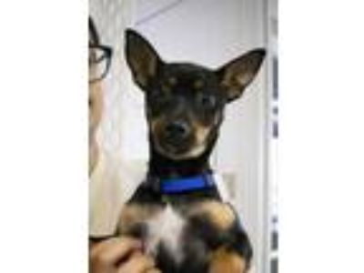 Adopt Beau a Black Miniature Pinscher / Mixed dog in Plano, TX (25565681)