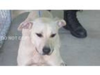 Adopt Eleanor a Tan/Yellow/Fawn Labrador Retriever / Pit Bull Terrier / Mixed