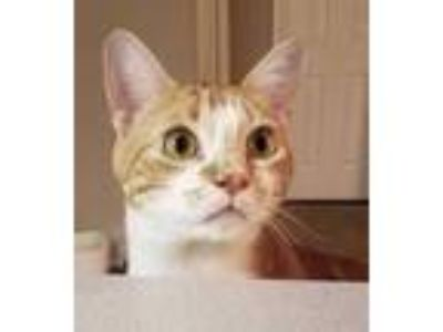 Adopt Lincoln a Orange or Red Domestic Shorthair / Domestic Shorthair / Mixed