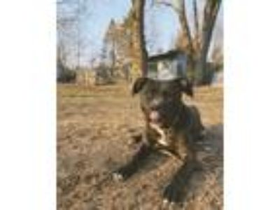 Adopt Eve a Black American Pit Bull Terrier / Boxer / Mixed dog in Acushnet