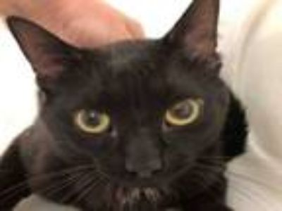 Adopt A292064 a Domestic Short Hair