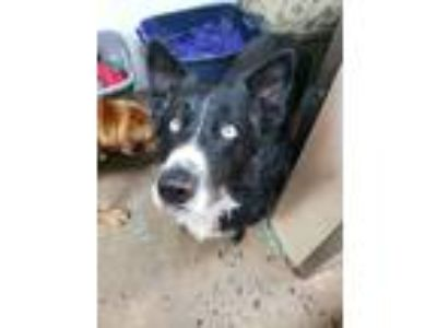 Adopt Bo Bo a Black - with White Husky / Shepherd (Unknown Type) / Mixed dog in