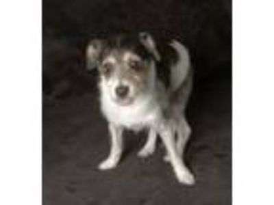 Adopt Oreo a White - with Brown or Chocolate Jack Russell Terrier / Mixed dog in