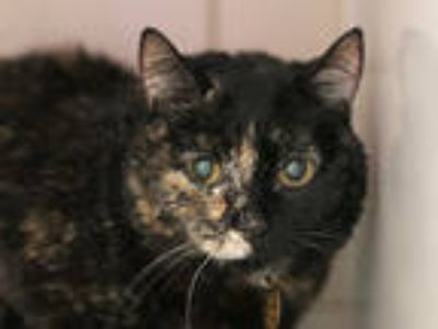 Adopt DOS DOS a Tortoiseshell Domestic Shorthair / Mixed (short coat) cat in