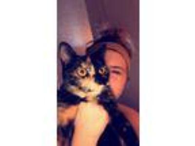 Adopt Patricia a Tortoiseshell Domestic Mediumhair / Mixed cat in Hudson