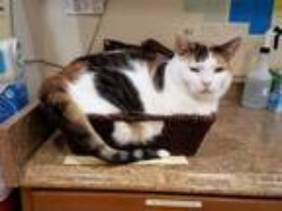 Adopt Cleo a Calico or Dilute Calico Calico (short coat) cat in Flushing