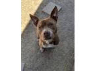 Adopt Weezer a Tan/Yellow/Fawn American Pit Bull Terrier / Mixed dog in Fort