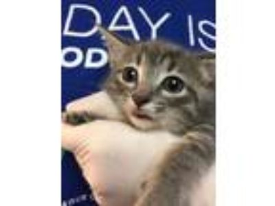 Adopt Rosie a Gray or Blue Domestic Shorthair / Mixed cat in Arlington