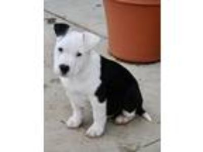 Adopt Kipper a Pit Bull Terrier, Cattle Dog