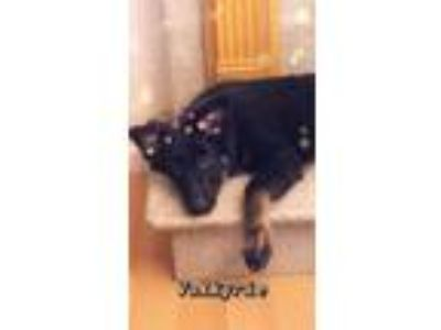 Adopt Valkyrie a Black - with Tan, Yellow or Fawn German Shepherd Dog dog in