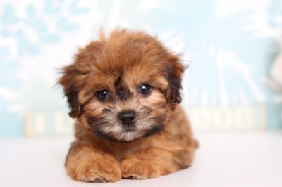 Shih Tzu-Poodle (Toy) Mix PUPPY FOR SALE ADN-63164 - Jake Male ShihPoo Puppy