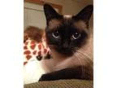 Adopt Bam-Bam and Harlee *bonded-pair * a Siamese