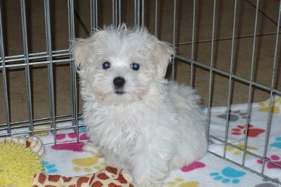 Maltese PUPPY FOR SALE ADN-104633 - Maltese Puppy