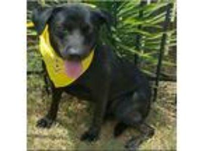 Adopt Harley - Fee $90 a Black Labrador Retriever / Mixed dog in Shreveport