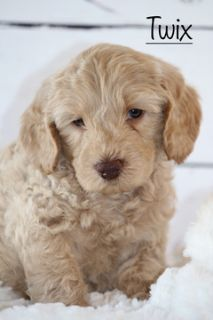 Australian Labradoodle PUPPY FOR SALE ADN-92944 - Australian Multi Gen Labradoodle Puppies