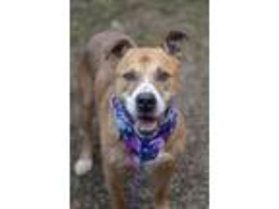 Adopt Choco a Tan/Yellow/Fawn American Pit Bull Terrier / Shepherd (Unknown