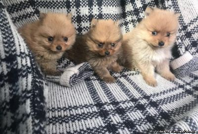 Marvelous Pomeranian puppies ready