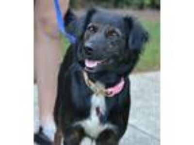 Adopt Sylive a Black Spaniel (Unknown Type) / Mixed dog in Kennesaw