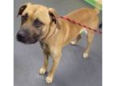 Adopt Harley a Tan/Yellow/Fawn Mixed Breed (Large) / Mixed dog in Dubuque