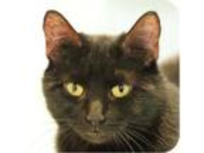 Adopt Rogue 25649-c a All Black Domestic Shorthair / Domestic Shorthair / Mixed