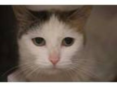 Adopt Bella a White Domestic Shorthair / Domestic Shorthair / Mixed cat in