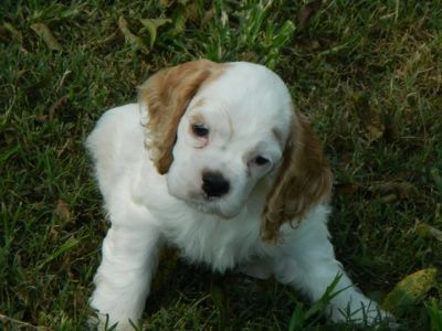 Cocker Spaniel PUPPY FOR SALE ADN-84568 - AKC GRAND CHAMPION SIRED COCKER SPANIELS