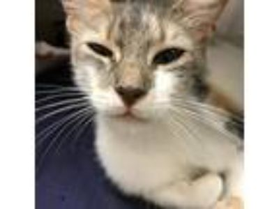 Adopt Nena a Gray or Blue (Mostly) Domestic Shorthair / Mixed cat in