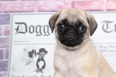 Pug PUPPY FOR SALE ADN-95893 - Nala Courageous Female Pug Puppy
