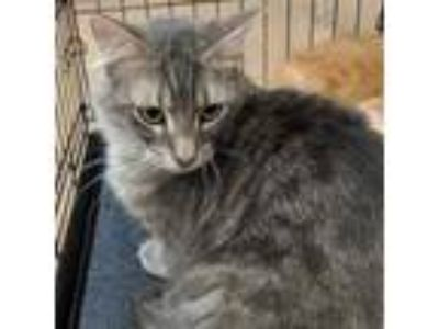 Adopt GAC#53-dec17 a Gray or Blue Domestic Mediumhair / Domestic Shorthair /