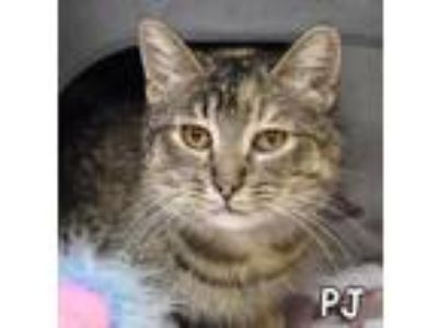 Adopt PJ a Brown Tabby Domestic Shorthair / Mixed (short coat) cat in Mason