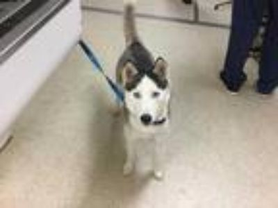 Adopt Dog a Black - with White Husky / Mixed dog in Jurupa Valley, CA (25856630)