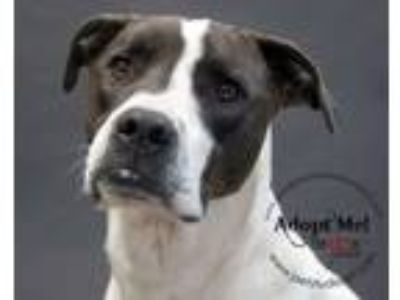 Adopt Ari a Pointer, Great Dane