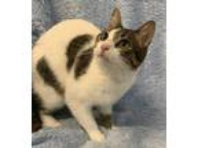 Adopt Mia a White Domestic Shorthair / Domestic Shorthair / Mixed cat in
