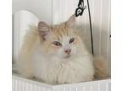 Adopt Fergus McFluff a Domestic Long Hair, Siamese