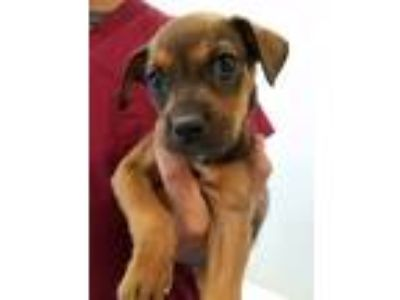 Adopt Mason a Brown/Chocolate - with Black Rottweiler / Labrador Retriever /