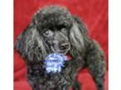 Adopt COURTESY POST- Bella a Black Poodle (Toy or Tea Cup) / Mixed dog in