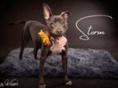 Adopt Storm a Gray/Blue/Silver/Salt & Pepper Pit Bull Terrier / Mixed dog in