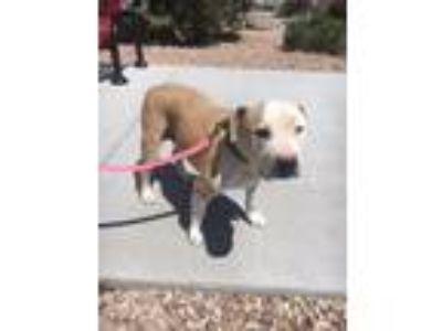 Adopt Louie a American Staffordshire Terrier