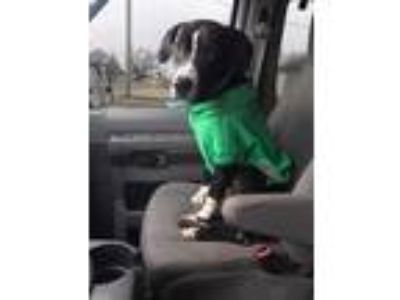 Adopt Bowzer (1/2019) a Black - with White Great Dane dog in McCurtain