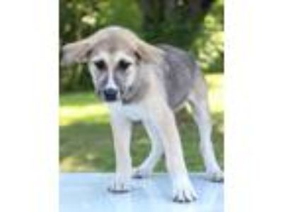 Adopt Poppy a Tricolor (Tan/Brown & Black & White) Shepherd (Unknown Type) /