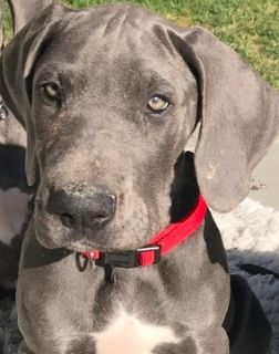 Great Dane PUPPY FOR SALE ADN-75877 - Great Dane Pups AKC Blue Champ Lines
