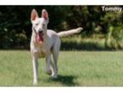 Adopt Tommy a Labrador Retriever, German Shepherd Dog