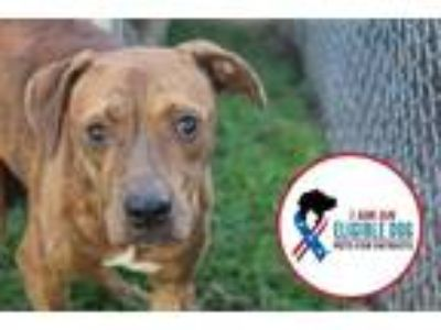 Adopt Gonzales a Pit Bull Terrier / Mixed dog in Albany, GA (22835585)