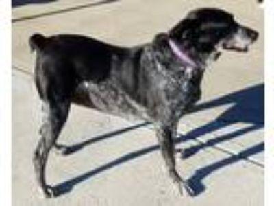 Adopt Sassy a Australian Cattle Dog / Blue Heeler