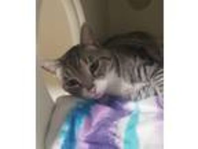 Adopt Gizmo a Domestic Shorthair / Mixed cat in Oceanside, CA (25838255)