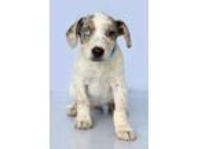 Adopt Chief a Tricolor (Tan/Brown & Black & White) Catahoula Leopard Dog / Mixed