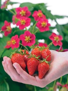 10 TOSCANA EVERBEARING STRAWBERRY PLANTS