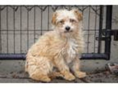 Adopt Curly a Terrier (Unknown Type, Medium) / Mixed dog in Napa, CA (25309859)